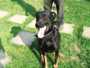 Dexter - gorgeous German Shepherd/Doberman X