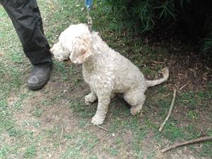 Alfie - very cute poodle X