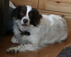 Bess, the Spaniel Cross