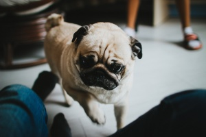 Stuart the Pug, a real live wire!